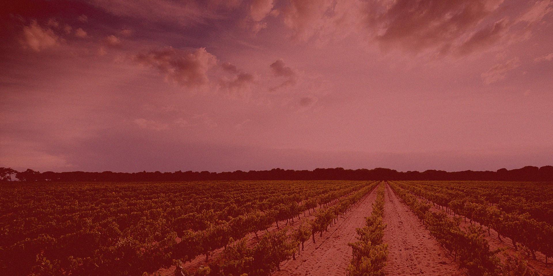 Paisaje viñedos de la tierra de Castilla